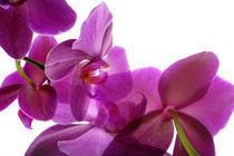Orchids by Elena Kulikova