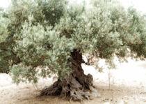 Olivenbaum von Guido-Roberto Battistella