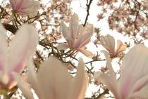 Kirschblüten von Max Nemo Mertens
