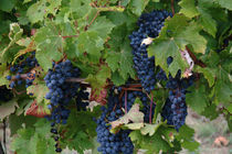 Purple grapes on the vine at a winery in Gaillac, France
