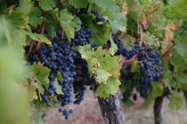 Purple grapes on the vine in Gaillac, France von bob bingenheimer