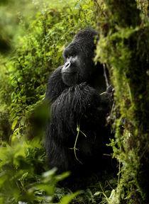 Rwanda Mountain Gorilla by Brent Foster
