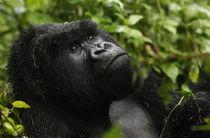 Gorillas4