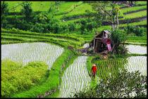 Rice fields in ubud area von Arnold Jerocki