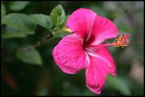 Hibiscus flower von Arnold Jerocki