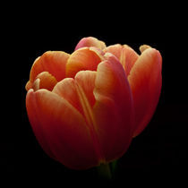 Tulips by Willy Marthinussen