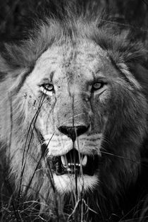 Male Lion Close up Portrait by Russell Bevan Photography