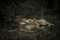 Sleeping Lion Cubs by Russell Bevan Photography