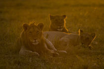 Young Lions at Dawn von Russell Bevan Photography