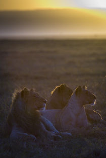 Young Lions at Sunrise von Russell Bevan Photography