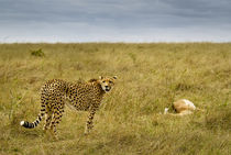 Cheetah With Impala Kill by Russell Bevan Photography