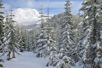 Mount Rainier (volcano) through a winter forest by Ed Book