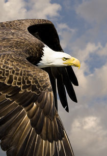 Bald Eagle Flies by at close range by Ed Book