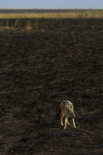 Lone Black Backed Jackal by Russell Bevan Photography