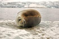 Seal by Jorge Fernandez