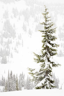 Tall Subalpine Fir in winter at Paradise Meadows on Mt Rainier von Ed Book