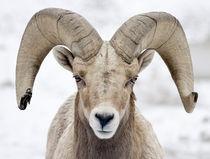Bighorn Sheep Ram von Ed Book