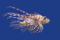 Lionfish by Ed Book