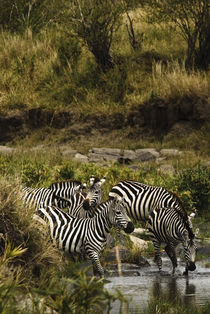 Common Zebra Drinking by Russell Bevan Photography