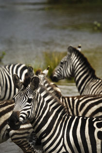 Common Zebra Crossing River von Russell Bevan Photography