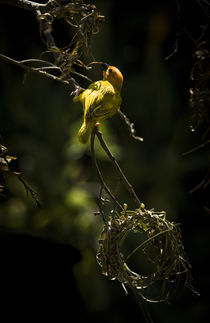 Taveta Golden Weaver Bird by Russell Bevan Photography