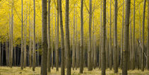 Autumn Poplar Forest von Ed Book