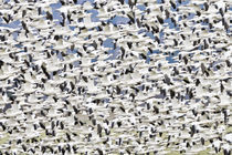 Snowgeese Flock Flying von Ed Book