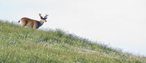 Buck Deer Approaches Across a Ridge