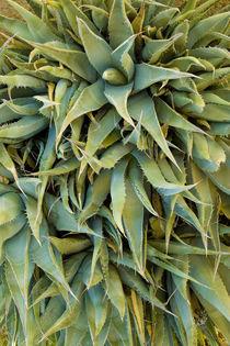 Agave Century Plant von Ed Book