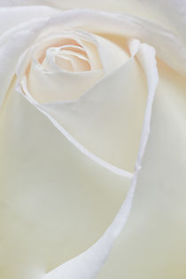 white Peace Rose by Ed Book