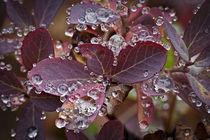 autumn huckleberry leaves with beaded rain drips