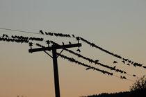 Vögel auf Telefonleitung von Intensivelight Panorama-Edition