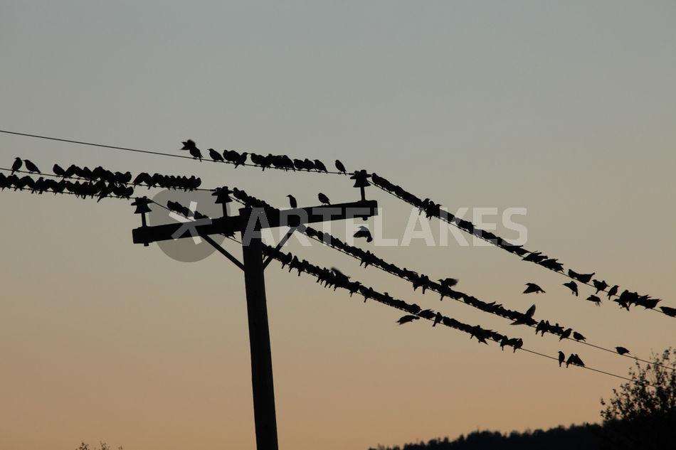 Vögel auf Telefonleitung\