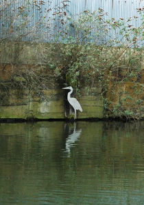 Painted Heron von Polly Rappaport