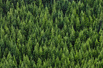 Mountainside Coniferous Forest by Ed Book