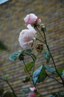 English Roses von Polly Rappaport