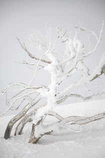 Burnt & frosted tree - Falls Creek, Australia by Jess Gibbs