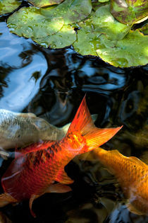 Koi fish in a meditation pond - Encinitas, California von Jess Gibbs