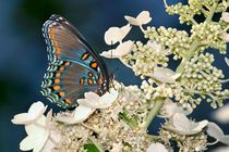 Exotic Butterfly, Red Spotted Purple by Paul Lemke