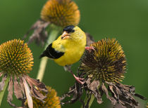 American Goldfinch von Paul Lemke