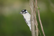 Downy Woodpecker by Paul Lemke