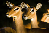 Impalas in te sunset light by Leandro Bistolfi