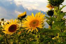 Sonnenblumen von Jens Uhlenbusch