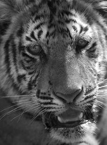 Tiger von Jeremy Cheung
