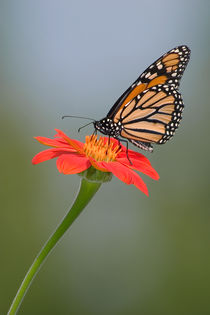 Monarch Butterfly And Flower von Paul Lemke