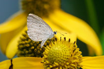 Tiny Butterfly, Spring Azure by Paul Lemke