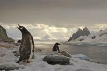 Penguin ́s call by Jorge Fernandez