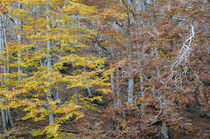 Beech trees in autumn by Jean du Boisberranger