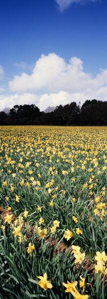 Daffodil-farm-24090013