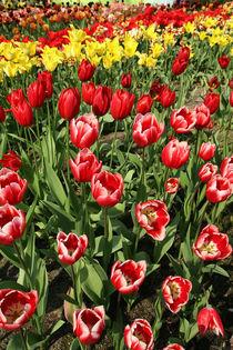 Tulip Bloom by Mike Greenslade